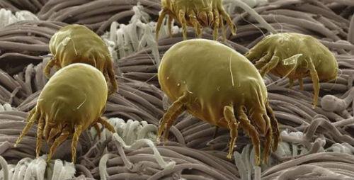 acari della polvere in un materasso